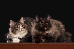 Deux chatons sibériens de tortue sur le fond noir Images libres de droits