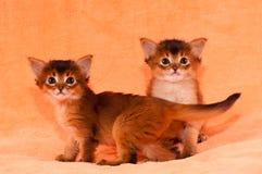 Deux chatons somalis de race Image libre de droits