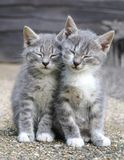 Deux chatons somnolents gris Photos libres de droits