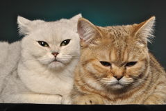 Deux chats Image stock