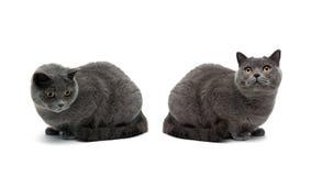 Deux chats avec les yeux jaunes d'isolement sur le fond blanc Photo libre de droits
