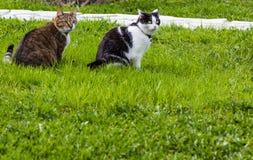 Deux chats blanc noir et tigrés se reposent ensemble sur une herbe verte Photos stock