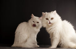 Deux chats blancs Photos stock