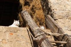 Deux chats blancs Image stock