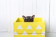 Deux chats, chaton de brun de chat de père et de fils, brun chocolat et gris avec de grands yeux verts sur le plancher en bois su Photos stock