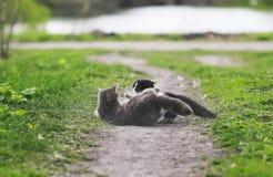 Deux chats combattant dans le roulement de yard sur la poussière au printemps Photographie stock