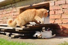 Deux chats combattant sur le jardin Photo stock