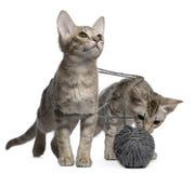 Deux chats d'Ocicat jouant avec une bille de filé Photos stock