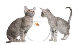 Deux chats d'Ocicat regardant le fishbowl photographie stock libre de droits