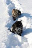 Deux chats dans la neige Photographie stock