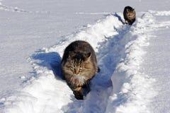 Deux chats dans la neige profonde Photos libres de droits