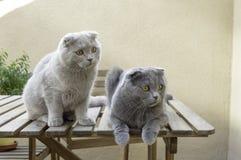 Deux chats de pli d'écossais Photos libres de droits