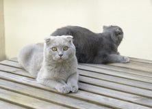Deux chats de pli d'écossais Photographie stock libre de droits