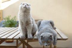 Deux chats de pli d'écossais Photo libre de droits