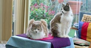 Deux chats domestiques mignons à la maison banque de vidéos