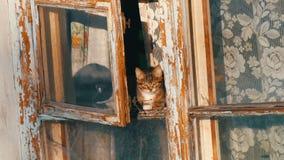 Deux chats drôles se reposent dans une vieux fenêtre et regard de cru dehors clips vidéos