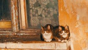 Deux chats drôles se reposent dans une vieux fenêtre et regard de cru dehors banque de vidéos