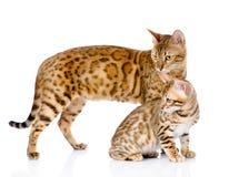 Deux chats du Bengale chat et petit animal de mère regardant loin Image libre de droits