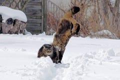 Deux chats jouent, sautent et sautent ensemble dans la neige Photographie stock libre de droits
