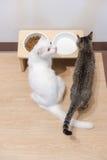 deux chats mangeant des aliments pour chats et du lait en poudre Image libre de droits