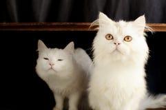 Deux chats persans Photographie stock libre de droits