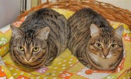 Deux chats rayés Images libres de droits