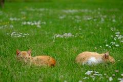 Deux chats rouges liying dans les gras Image stock