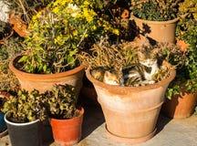 Deux chats s'étendant dans le pot de fleur Images stock