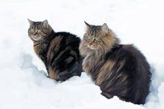 Deux chats se reposant dans la neige Image libre de droits