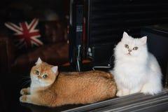 Deux chats sont des amants photographie stock