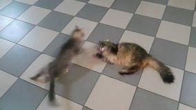Deux chats sur le jeu de plancher les uns avec les autres et le combat banque de vidéos