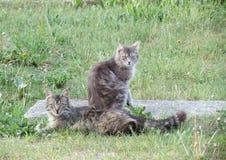 Deux chats tigrés Image stock