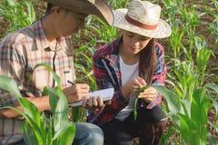 Deux chercheurs agricoles étudient la croissance du pla de maïs image stock