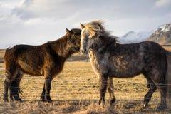Deux chevaux étant affectueux en Islande pendant le coucher du soleil Photographie stock libre de droits
