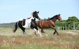 Deux chevaux étonnants fonctionnant ensemble Image stock