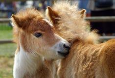 Deux chevaux Photos libres de droits