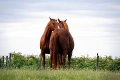 Deux chevaux adultes poussent du nez Photos libres de droits