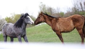 Deux chevaux affectueux image libre de droits