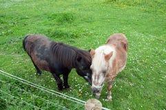Deux chevaux amicaux dans un pré de printemps Photo stock