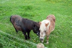 Deux chevaux amicaux dans un pré de printemps Photo libre de droits