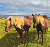 Deux chevaux avec les crinières jaunes Images stock