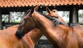 Deux chevaux avec leurs têtes ensemble Image stock