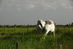 Chevaux blancs Photographie stock libre de droits