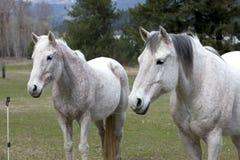 Deux chevaux regardant loin. photographie stock