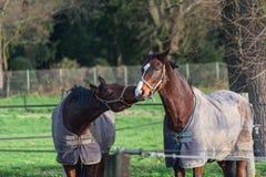 Deux chevaux bruns avec la couverture Images stock