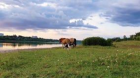 Deux chevaux bruns, jeune poulain et jument, avec un chien de berger fonctionnant sur le pâturage d'herbe verte près du lac dans  banque de vidéos