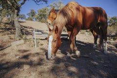 Deux chevaux bruns mangeant l'herbe en nature Image libre de droits
