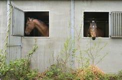 Deux chevaux bruns regardent par la fenêtre stable Image stock
