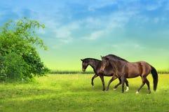 Deux chevaux bruns sur le pâturage à l'aube Photos libres de droits