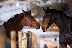 Deux chevaux d'amants Photo stock